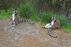 Lémurs anneau-coupés la queue se reposants dans un zoo Images libres de droits