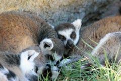 Lémurs anneau-coupés la queue somnolents Photos stock