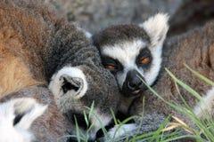 Lémurs anneau-coupés la queue somnolents Images stock