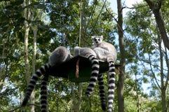 lémurs Anneau-coupés la queue sur une plate-forme accrochante Photographie stock
