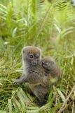 Lémurs au Madagascar Photos libres de droits