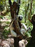 Lémurs au Madagascar Image stock