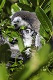 Lémurs ayant une caresse dans les branches Photos libres de droits