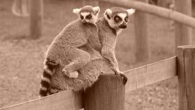 Lémurs coupés la queue par anneau Photo stock