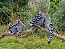 Lémurs coupés la queue par anneau Photos stock
