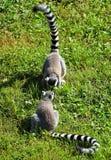 Lémurs coupés la queue par anneau Image libre de droits