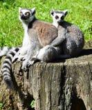 Lémurs coupés la queue par anneau Images stock