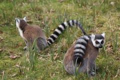 Lémurs coupés la queue par anneau Photos libres de droits