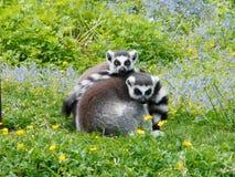 Lémurs coupés la queue par anneau Photographie stock libre de droits