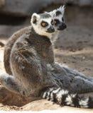 Lémurs coupés la queue par anneau Image stock
