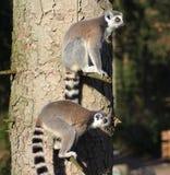 Lémurs coupés la queue par anneau dans l'arbre Image stock