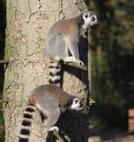Lémurs coupés la queue par anneau dans l'arbre Photographie stock libre de droits