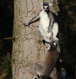 Lémurs coupés la queue par anneau dans l'arbre Photos stock