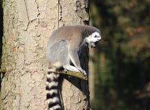 Lémurs coupés la queue par anneau dans l'arbre Photo stock