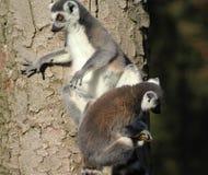 Lémurs coupés la queue par anneau dans l'arbre Photos libres de droits