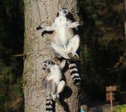 Lémurs coupés la queue par anneau dans l'arbre Image libre de droits