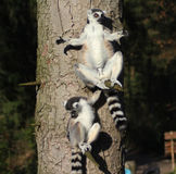 Lémurs coupés la queue par anneau dans l'arbre Images libres de droits