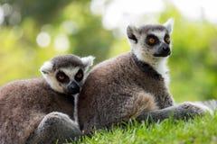 Lémurs de attente Photographie stock