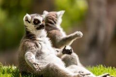 Lémurs de attente Photos libres de droits