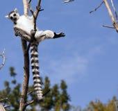 Lémurs du Madagascar Photographie stock libre de droits