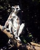 Lémurs du Madagascar Photographie stock