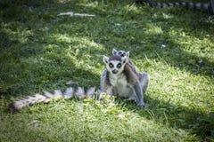 Lémurs en parc Image libre de droits