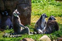 Lémurs paresseux Images libres de droits