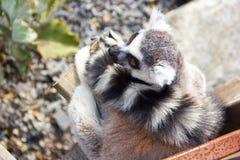 Lémurs seuls Photographie stock