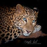 Léopard photos libres de droits