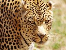 Léopard Image libre de droits