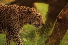 Léopard Photo libre de droits