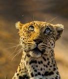 Léopard images libres de droits
