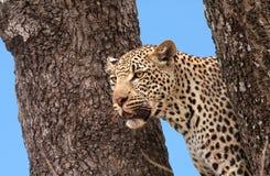 Léopard africain Image libre de droits