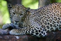 Léopard africain Photo libre de droits