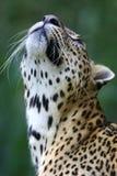 Léopard africain photo stock