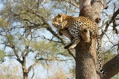 Léopard africain Photos libres de droits