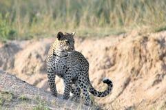 Léopard africain Image stock