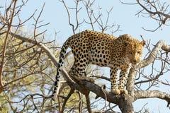 Léopard africain Images libres de droits