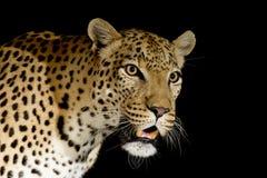 Léopard africain mâle, Afrique du Sud Images stock