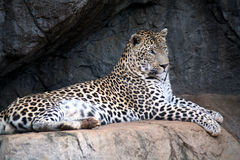 Léopard (Afrique du Sud) Photo stock