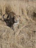 Léopard alimentant chez Dusternbrook photographie stock libre de droits