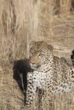 Léopard alimentant chez Dusternbrook images stock