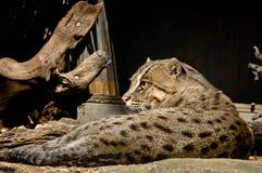Léopard asiatique Cat Lounging Photographie stock libre de droits