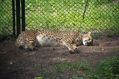 Léopard chinois du nord se reposant dans une cage de ZOO Image stock