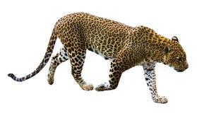 Léopard courant photo stock
