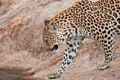 Léopard croisant un flot en Afrique Photos libres de droits