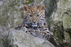 Léopard CUB d'Amur Photos stock