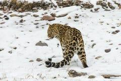 Léopard d'Amur photos stock