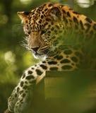 Léopard d'Amur détendant haut au zoo de Marwell Images stock