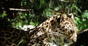 Léopard d'Amur dans la lumière Images libres de droits